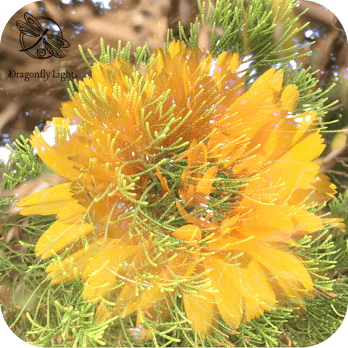 Pine and Yellow flower